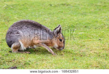 Patagonian Mara (Dolichotis Patagonum) grazing on grass