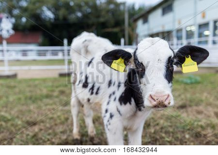 Cows for milk production