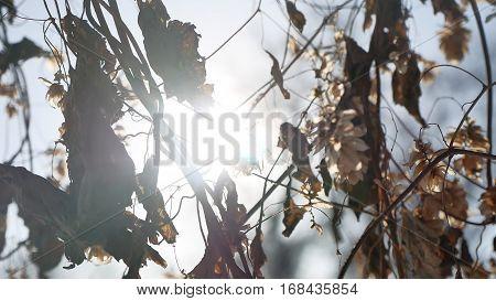 dry hops sun glare nature winter forest landscape