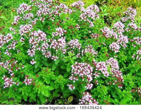 Flowering oregano plant. Origanum vulgare plant flowers.
