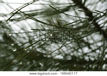 freshness of the pine forest, rain drops on pine needles