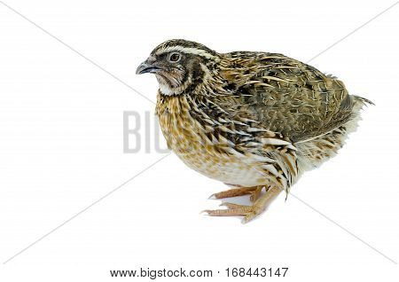 Quail hen isolated on white. Domesticated quails are important agriculture poultry