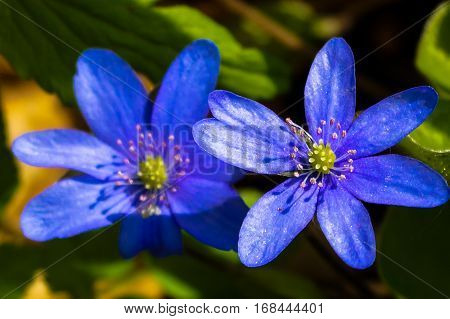 blue spring flower beautiful background flora nature