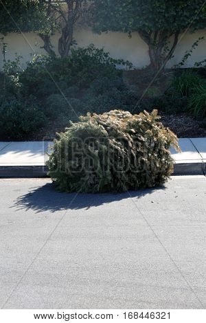 dried dead Christmas tree laying in the road for the trash man to retrieve after christmas
