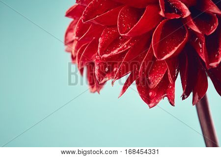 Red dahlia with drops of water on blue background