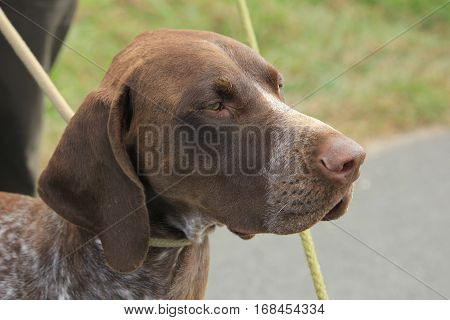 German Shorthaired Pointer adult male brown and white