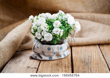 Campanula terry flowers in paper packaging on sackcloth wooden background