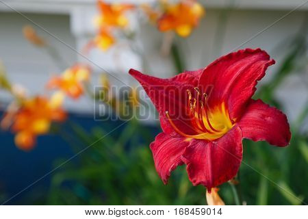 Daylilies in the home garden.