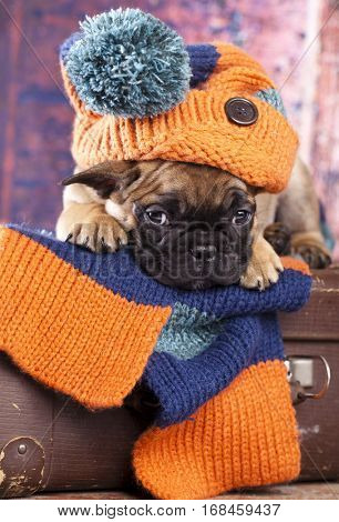 french bulldog puppy in hat hand-knitted
