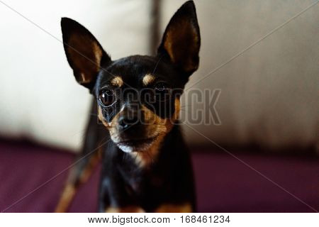 cute little doggy looking with big eyes on background of room