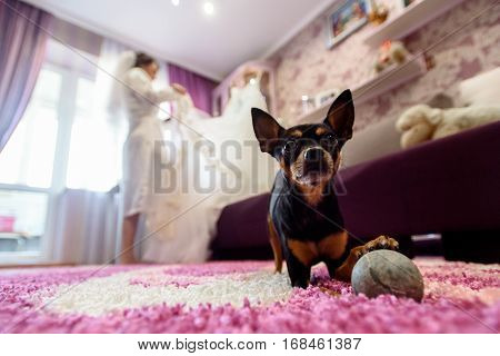 Cute Little Doggy Looking With Big Eyes On Background Of Bride In Room