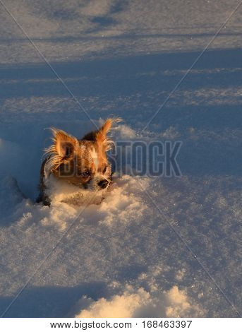 a Chihuahua puppy stands in deep snow