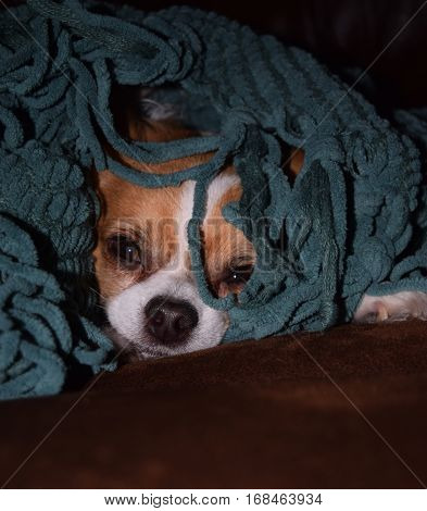 a Chihuahua puppy under a yarn blanket