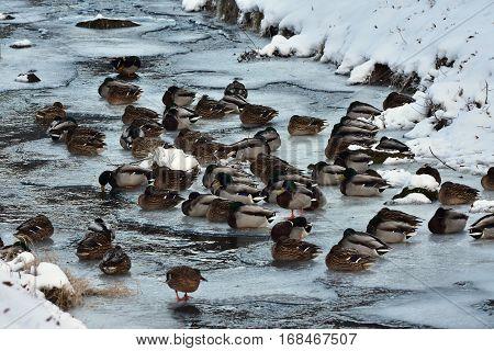 mallard ducks on last non frozen water surface