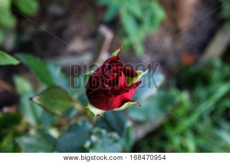 Tiny red rose bud growing up. Young rose flower plant in garden.