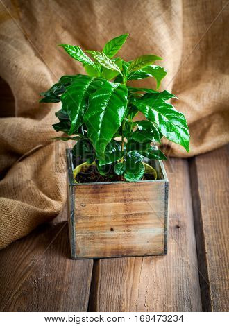 coffee plant treeon sackcloth wooden background background