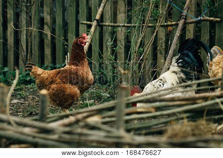 Group Of Chickens And Rooster Walking In Farm Land, Spring Time, Agriculture Concept