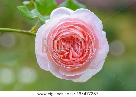 Beautiful pink rose in garden with green