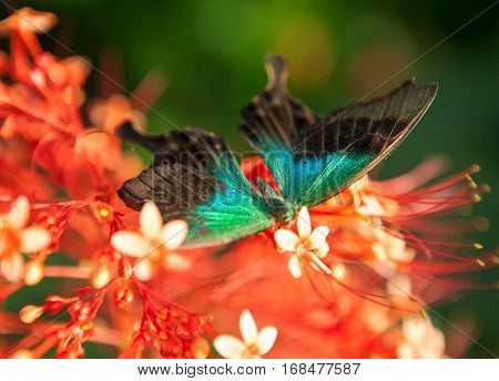 big tropical butterfly sitting on red flowers