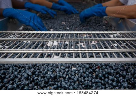 Bolgheri, Tuscany - Processing Of The Vineyards