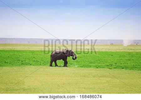 Majestic male African elephant drinking water at a waterhole, Maasai Mara National Reserve, Kenya