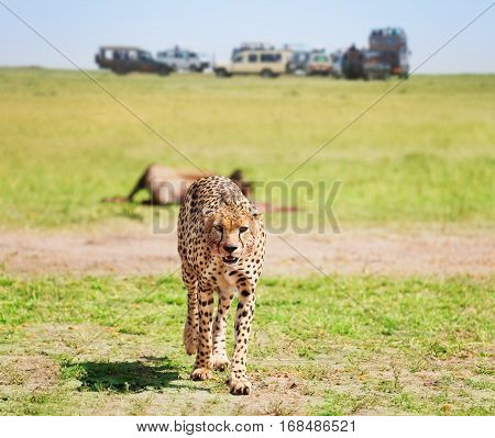 Portrait of African cheetah looking at camera after feasting on kill, Kenya