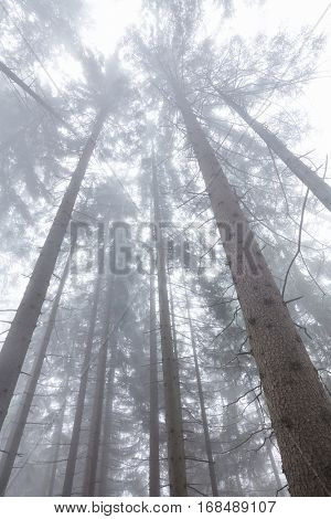 Tall trunks of trees in foggy forest stretching up into the sky - nature background concept