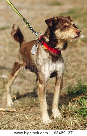 Cute Skinny Brown Dog From Shelter With Tongue In Belt Posing Outside In Sunny Park, Smiling, Adopti