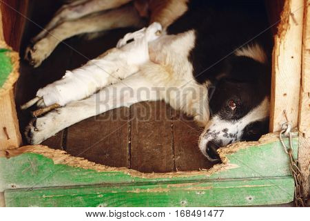 Sad Dog With Injured Paw With Bandage In Shelter Cage With Crying Eyes , Emotional Moment, Adopt Me