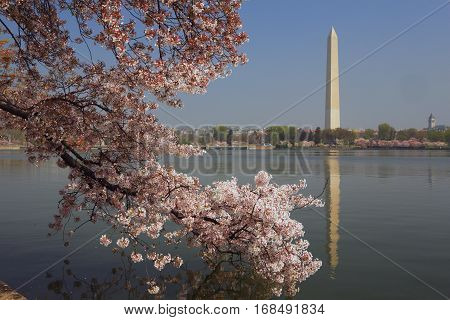Washington Monument reflection with cherry tree blossom