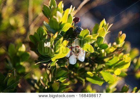 Tea tree flower in Grampians VIC Australia