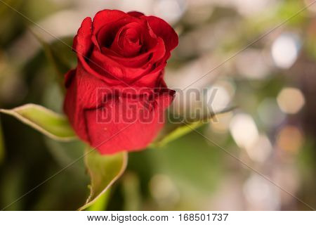 Horizontal close-up shot of beautiful fresh red rose bud.