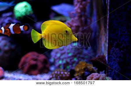 Zebrasoma Yellow Tang in coral reef tank