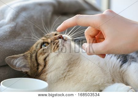 Owner playing with cute funny cat at home, closeup