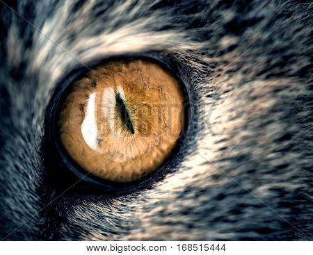 Closeup Yellow Cat Eye With Gray Fur