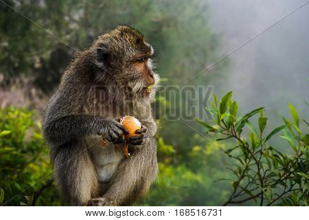 A Balinese long-tailed monkey eats a stolen boiled egg in the undergrowth of Mount Batur. It's mouth is covered with egg.