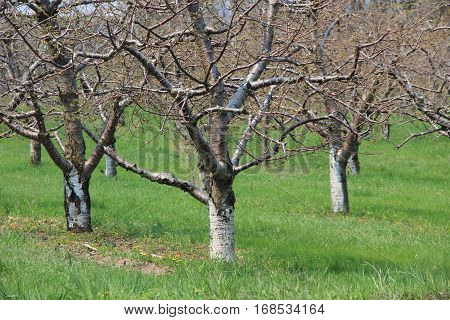 Buds on orchard trees near Traverse City, Michigan