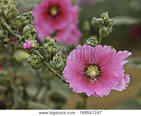 Soft Focus Closeup Pink Hollyhock Flower (Alcea Rosea)