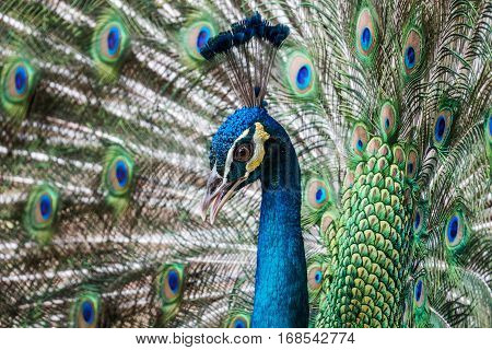 peacock tropical bird in the nature displaying his feather dress