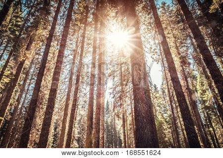 Coniferous forest of the Yosemite National Park, USA