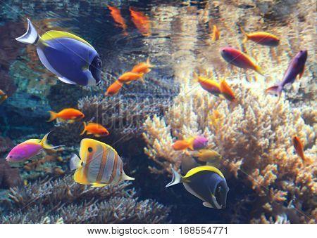 Underwater scene with beautiful tropical fish - hepatus; blue tang. Marine aquarium