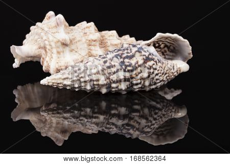 Sea shells of auger snail isolated on black background reflection