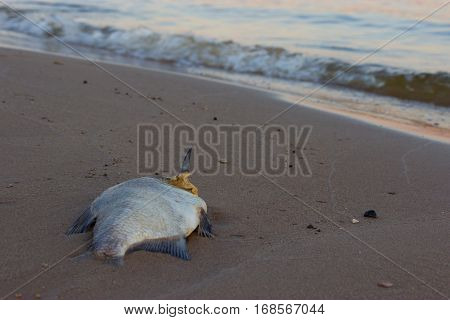 Dead fish on the beach. ecology concept