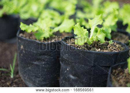 Fresh green oak is grown in pot