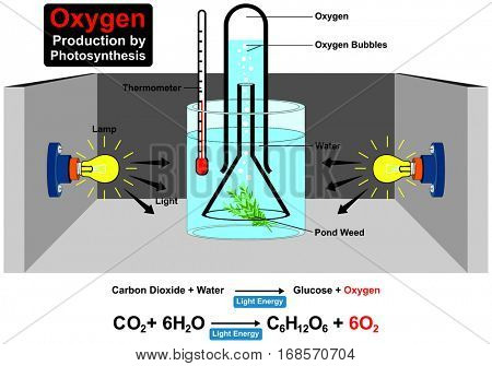 Oxygen Production by Photosynthesis Process Experiment  with chemical formula wit parts lamp water plant pond weed thermometer light bubble carbon dioxide for education science lab vector