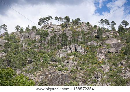 Pine forest, Pinus pinaster, growing over a granite mountain in Iruelas Valley Natural Park, Avila, Spain