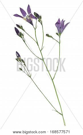 Pressed and dried flowers campanula. Isolated on white background. For use in scrapbooking floristry (oshibana) or herbarium.