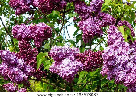 Branches of Syringa (Lilac) tree with large panicles of purple flowers