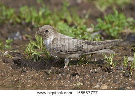 Eurasian crag martin standing on the ground in mud