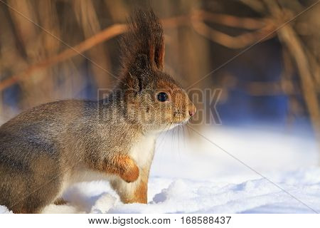 squirrel common in the snow on a sunny day wild animals, mammals, forest, wildlife